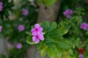 Malaysia 2013 - Hotel Beach - Flower