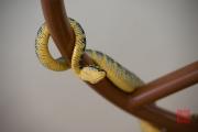 Malaysia 2013 - Snake Temple - Snake II