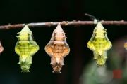 Malaysia 2013 - Butterfly Farm - Cocoon III