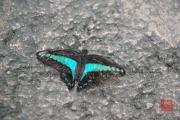 Malaysia 2013 - Butterfly Farm - Black-Cyan