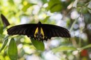 Malaysia 2013 - Butterfly Farm - Black-Yellow
