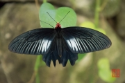 Malaysia 2013 - Butterfly Farm - Black-Striped-White