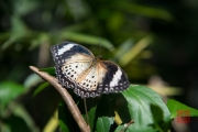 Malaysia 2013 - Butterfly Farm - Black-White-Brown