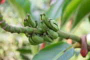 Malaysia 2013 - Butterfly Farm - Mini-Bananas