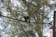 Malaysia 2013 - Penang - Monkeys II