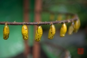 Malaysia 2013 - Butterfly Farm - Cocoon I