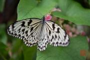 Malaysia 2013 - Butterfly Farm - Black-White