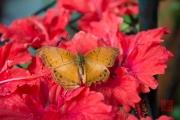 Malaysia 2013 - Butterfly Farm - Orange-Black