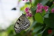 Malaysia 2013 - Butterfly Farm - White-Black