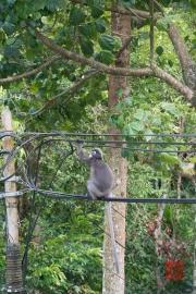 Malaysia 2013 - Penang - Monkeys I