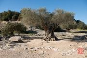 Nimes 2014 - Aqueduct - Olive Tree