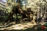 Taiwan 2015 - Alishan - Treestomp III