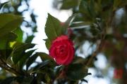 Taiwan 2015 - Alishan - Red Blossom II